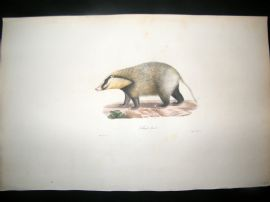Saint Hilaire & Cuvier C1830 Folio Hand Colored Print. Bali-Soar